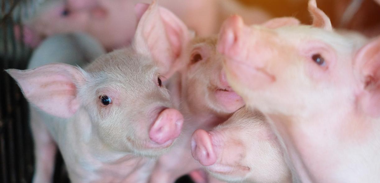 Camera monitoring: a digital close-up on pig feeding behavior