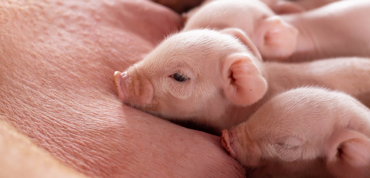 The when and the why of sow mortality