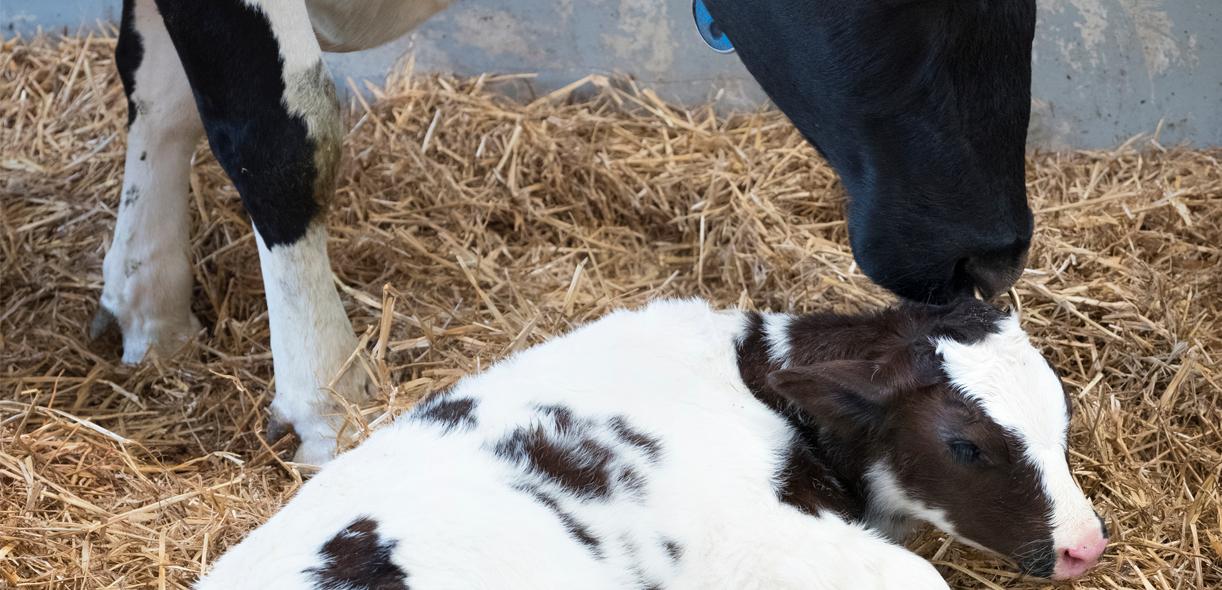 Fresh cow program: keys to a successful relaunch