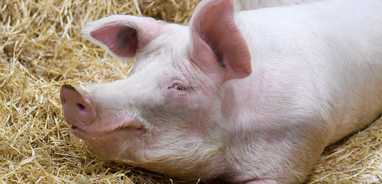 Keep a sharp look out for sow lameness