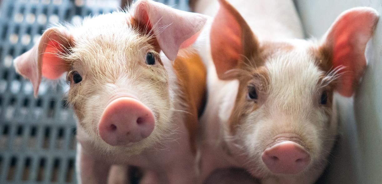 Nailing down virus transmission mechanisms in nursing sows
