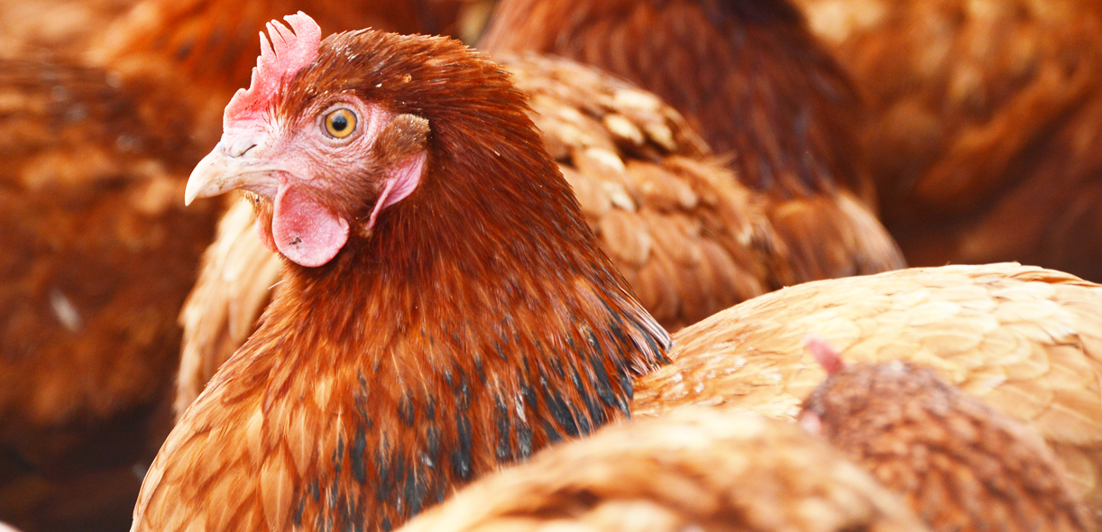 Taking the fear out of cage-free laying