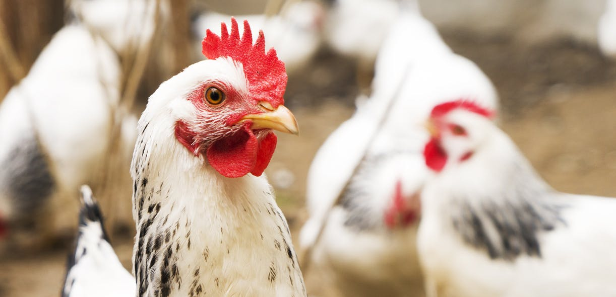 Seeing heart disease in chickens in a new light
